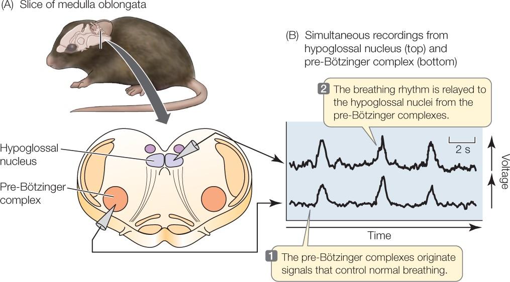 ผลการทดลอง ทำลายเซลล์สมองส่วนบัญชาการ การหายใจของหนูกั 1