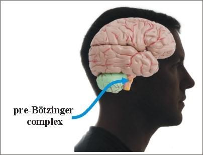 Pre-Boetzinger Complex สมอง 2